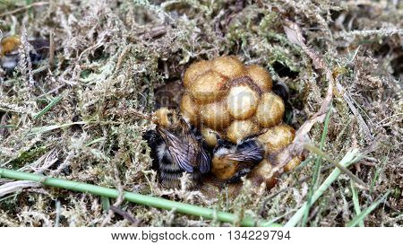 bumble bee in nest on moss background
