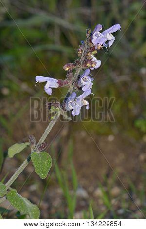 Wild Clary - Salvia verbenaca Wild Flower from Cyprus