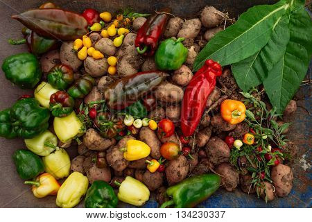 Hot Peppers, Potatto, Paprika, Tomatoes And Tobbaco Leaves