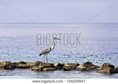 A Beautiful Grey Heron Walking At The Beach In Maldives.