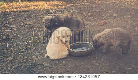 Rare White Serbian Sharplaninatz Shepherd Dog