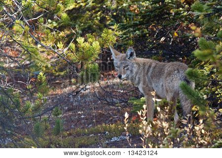 Coyote, Canis Latrans