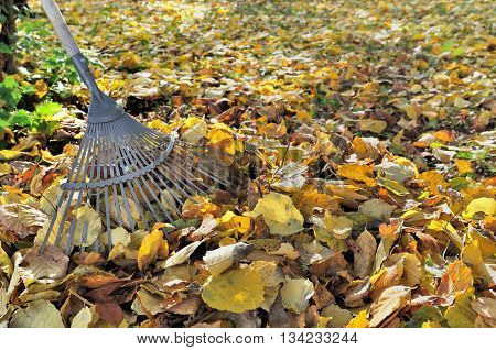 rake in golden dead leaves in garden