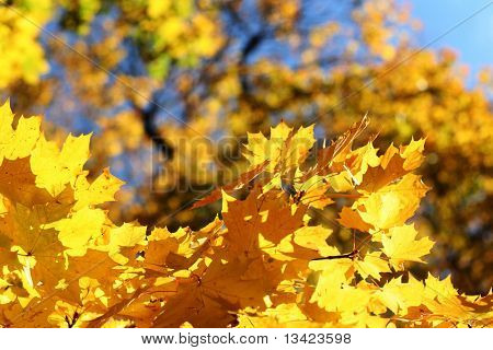 Autumn leafs on the tree