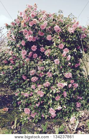 Garden with a beautiful pink camellia tree - retro filter applied