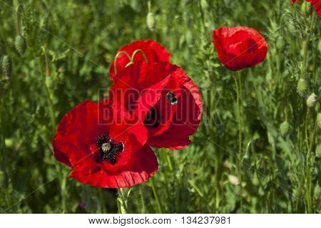 bright red poppy flowers and a bumblebee