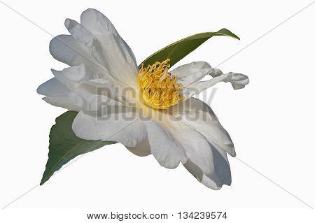 Elaine Lee hybrid camellia (Camellia x hybrid Elaine Lee). Image of flower isolated on white background