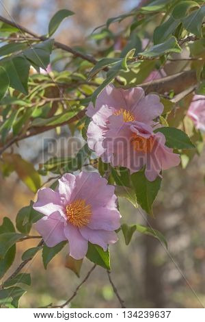 Winter's fancy hybrid camellia (Camellia x hybrid Winter's Fancy). Image of several flowers