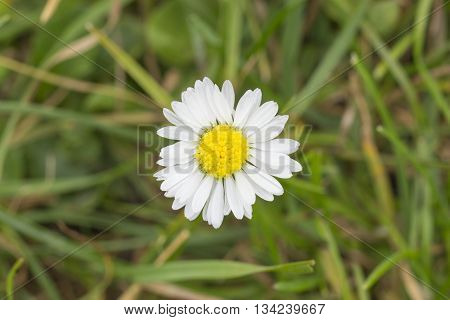 Ariel view of a Daisy in long grass