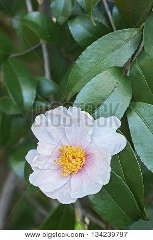 Winter's Star hybrid camellia (Camellia x hybrid Winter's Star). Image of single white flower