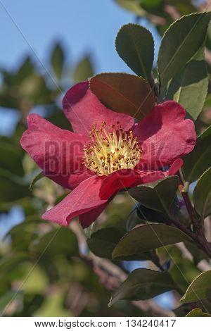 Sasangua camellia (Camellia sasangua). Image of single flower