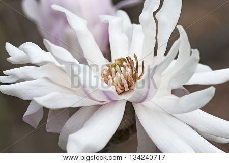 Centennial star magnolia flower (Magnolia stellata Centennial). Called Centennial Blush star magnolia also