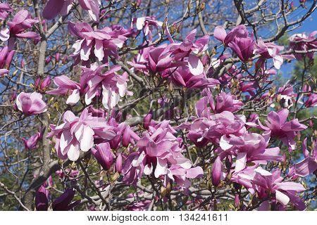 Galaxy hybrid magnolia flowers(Magnolia x hybrid Galaxy). Hybrid between Magnolia liliflora Nigra and Magnolia sprengeri Diva