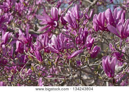 Girl hybrid magnolia Ann flowers (Magnolia x hybrid Ann). Hybrid between Magnolia liliiflora and Magnolia stellata