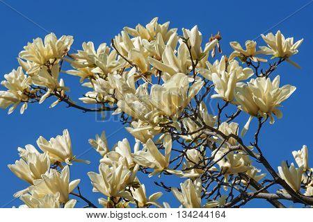 Ivory Chalice magnolia flowers (Magnolia x hybrid Ivory Chalice). Hybrid between Magnolia acuminata and Magnolia denudata