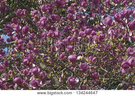 Grace McDade saucer magnolia flowers (Magnolia x soulangeana Grace McDade)