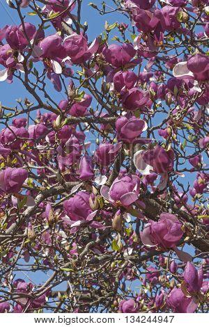 Grace McDade saucer magnolia (Magnolia x soulangeana Grace McDade)