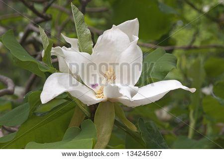 Ashe magnolia flower (Magnolia macrophylla ashei). Another scientific name is Magnolia ashei