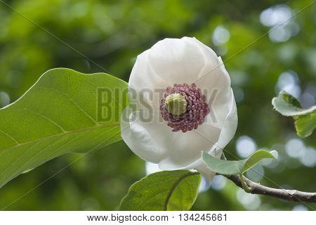 Colossus Oyama magnolia flower (Magnolia sieboldii Colossus)