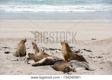 Australian Sea Lion Relaxing On The Beach