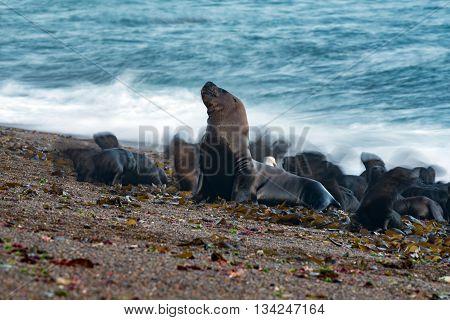 Sea Lion On The Beach Blur Move Effect
