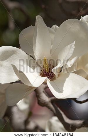 Yulan magnolia flower (Magnolia denudata). Called Lilytree also. Another scientific name is Yulania denudata