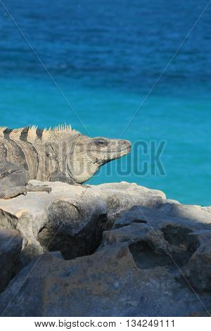 big iguana in Tulum, Yucatan , MEXICO