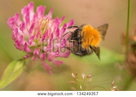 closeup of a bumblebee on a lila colored flower
