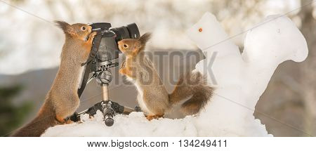 red squirrels with snow squirrel and camera