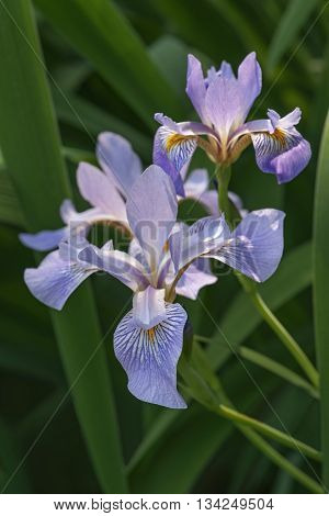 Siberian iris (Iris sibirica). General view of several flowers