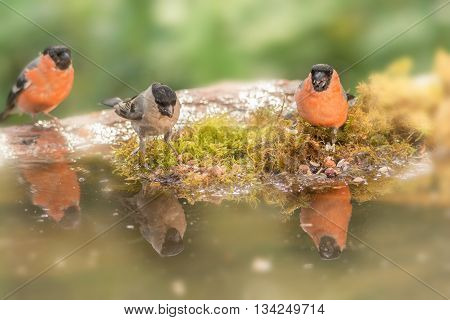male and female bullfinch reflected in water
