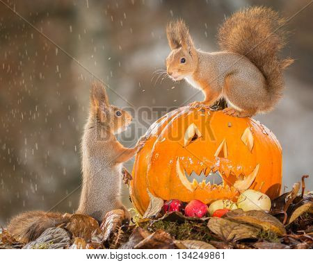 red squirrels with pumpkin head and litle rain