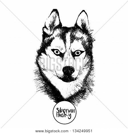 Vector close up portrait of siberian husky. Hand drawn domestic pet dog illustration. Isolated on white background.