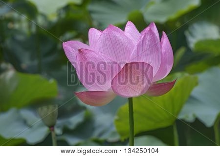 Sacred lotus (Nelumbo nucifera). Called Indian Lotus Bean of India and Lotus also. Lateral view of single flower