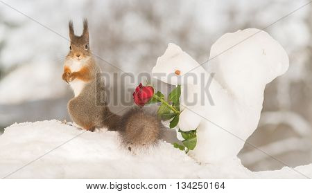 red squirrel in snow with ice squirrel and rose