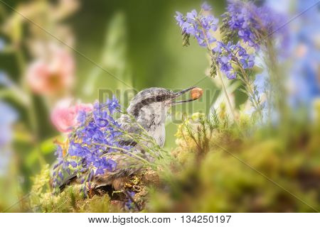 nuthatch between flowers with nut  in sun light