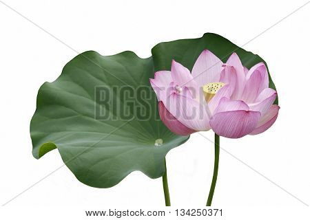 Sacred lotus (Nelumbo nucifera). Called Indian Lotus Bean of India and Lotus also. Image of flower and isolated on white background