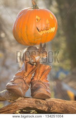 red squirrel standing on shoes with pumpkin