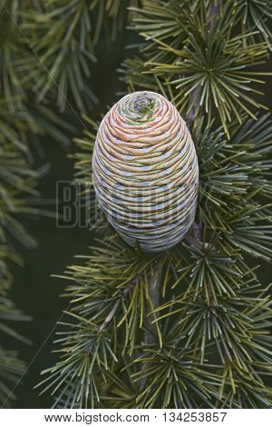 Deodar cedar (Cedrus deodara). Called Himalayan cedar also. Image of single cone