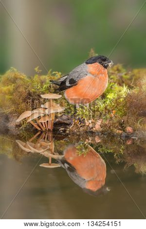male bullfinch with water and mushrooms  in sun light