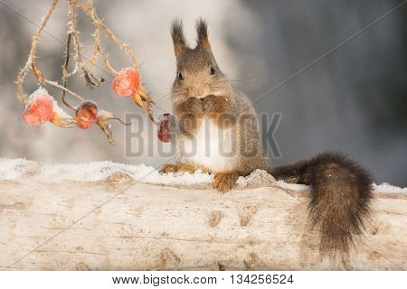 close up of red squirrel on tree trunk with brier and snow