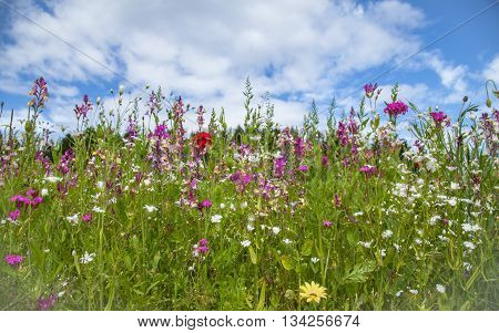 Wildflowers field and blue sky background Nature Sommer