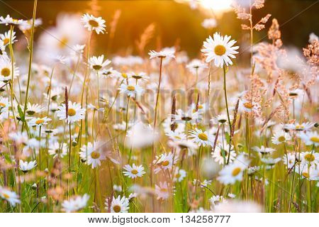 daisies field blooming bright sunlight Nature wildflowers Sommer