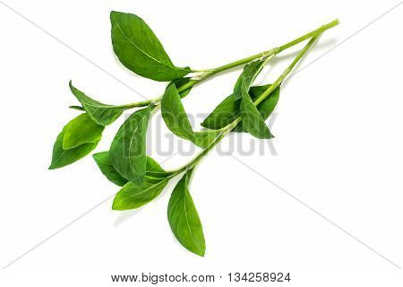 Medicinal plant Polygonum aviculare or common knotgrass (prostrate knotweed birdweed pigweed and lowgrass) on a white background. Used in herbal medicine cooking food for animals