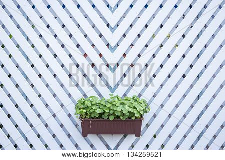 Centella Asiatica In Plant Box Hanging On Wooden Fence