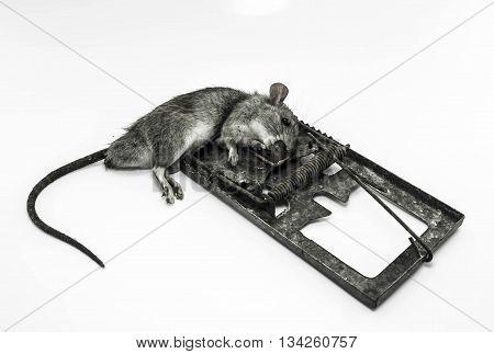 A dead rat killed by rat-trap dirt.