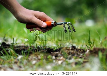 Planting of seedlings in the ground. Working in the garden. Human Hand, garden tools - rake, a young plant