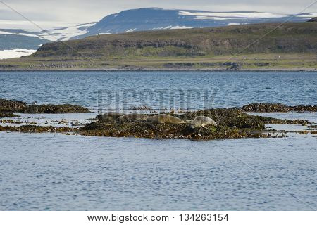 Seals resting on seaweeds at Westfjords peninsula Vigur Island Iceland. Shallow depth of focus