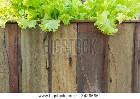 abstract backgrounds Lettuce grown in a wooden.