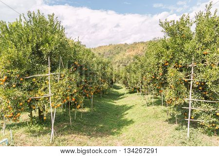 agriculture background Orange orchard in northern Thailand